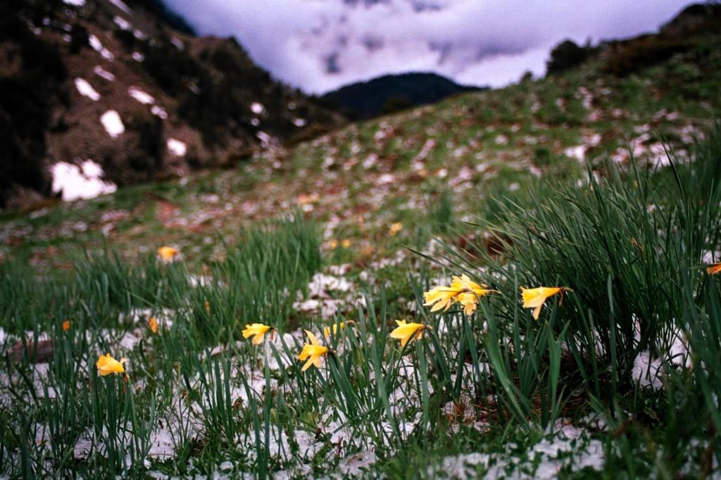 żąkile, Andora