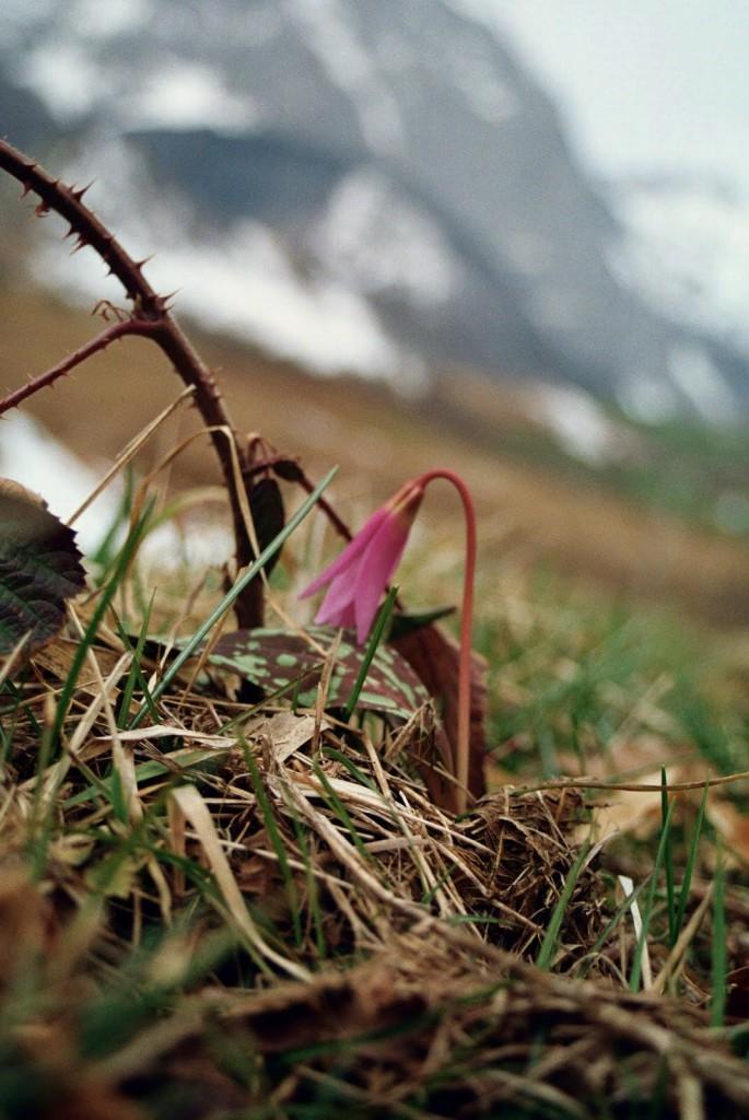 może to tulipan? Pireneje, Lescun, marzec