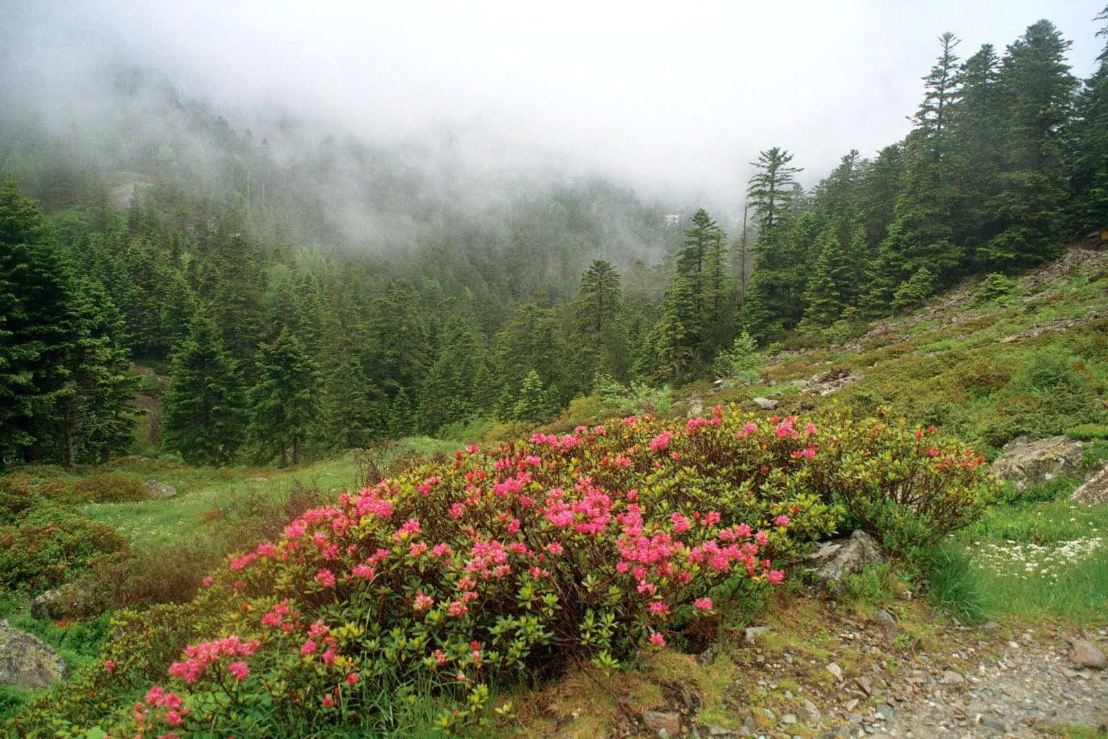 rododendron, Barage du Tech, połowa czerwca