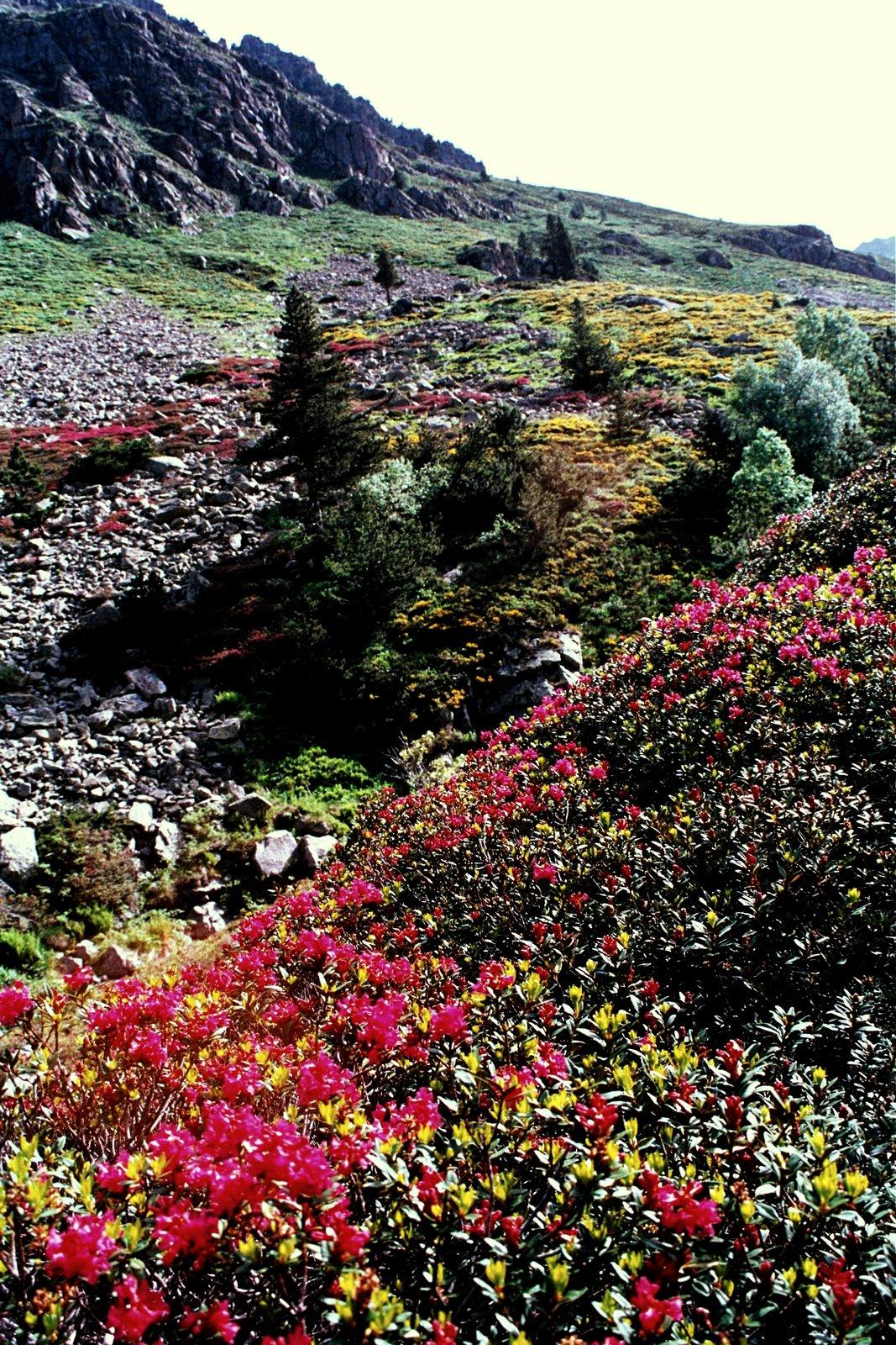 rododendrony powyżej Merens le Valls w drodze do Besiness, połowa czerwca