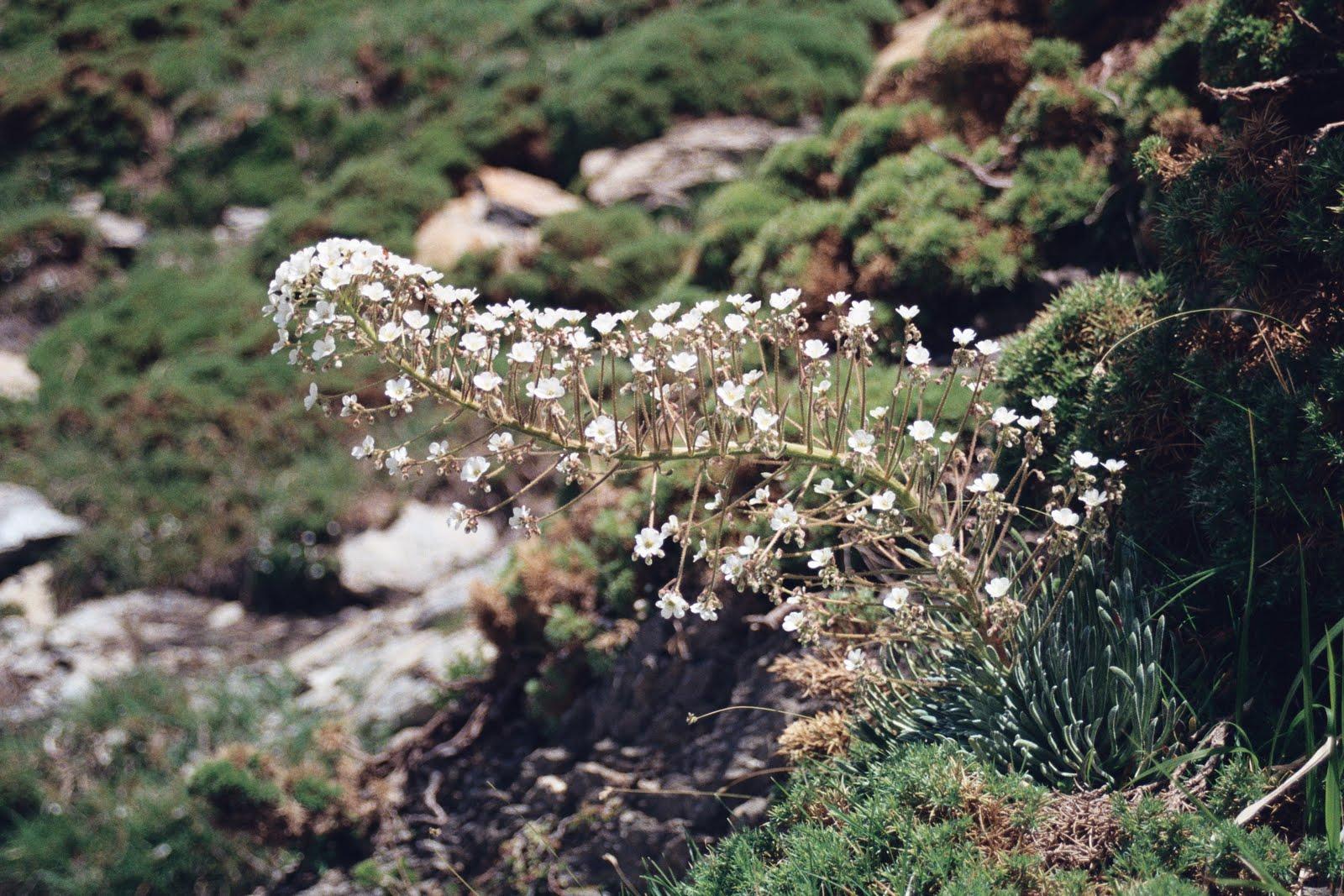 skalnica, Canion Anisclo, koniec czerwca