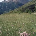 astry alpejskie