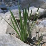 cebulowa roślinka w suchym korycie kanionu