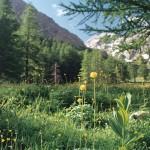 pełnik alpejski