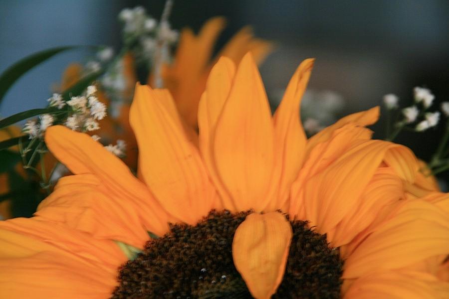 żywy słonecznik