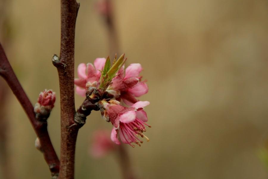brzoskwinia siewka z ogrodu pewnego starszego pana- prezent, ofiarodawca nie żyje juz od kilku lat