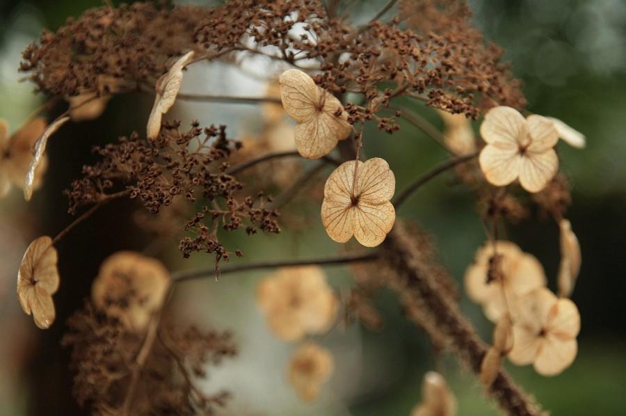 hortensja, Hydrangea Aspera