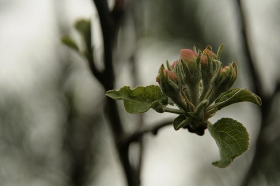 jabłonka z ogryzka