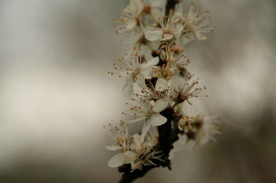 tarnina- prunus spinosa