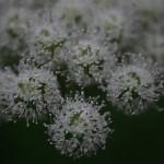 podobne do barszczu kwiaty