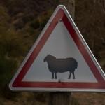 uwaga owca!