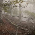 bukowy las w Pirenejach Francuskich