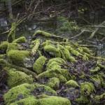 mokradła pełne zwalonych drzew