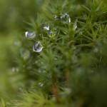 mech torfowiec- najpopularniejsza leśna roślinka