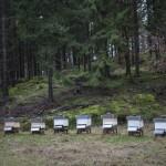 ule w lesie na Skaneleden