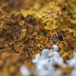 złote porosty