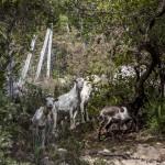 zwierzęta często chozą po Korsyce wolno