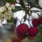 ( chruscina jagodna) arbutus unedo- pycha!