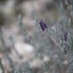 mnóstwo pachnących ziół, Korsyka, styczeń
