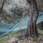 zbiory oliwek