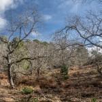 Kasztany jadalne, Korsyka