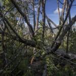 Korsyka, połamany i skłębiony las na grani