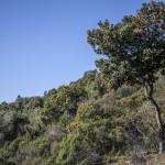 arbutus unedo- dojrzałe owoce poziomkowca, Korsyka, styczeń
