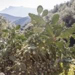owoce opuncji, Korsyka, styczeń