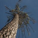 sosna czarna- pinus nigra