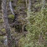 bardzo gęsty las, Korsyka, styczeń