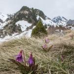 psiząb liliowy, Pireneje, kwiecień