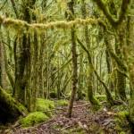 Pireneje, kwiecień, omszały bukszpanowy las