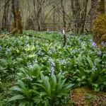 Łany cebulic, Pireneje, kwiecień
