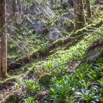 pełen cebulic bukowy las