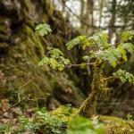 klonik polny w omszałym lesie