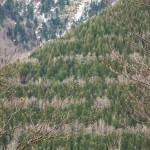pręgowany las