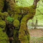 omszałe, stare drzewa