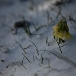 prymulka w śniegu