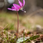 psiząb liliowy