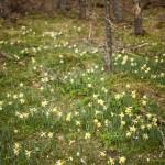 pola narcyzów