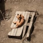 pies z Olette
