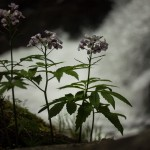 nieznane mi, zarastające cieniste lasy kwiaty