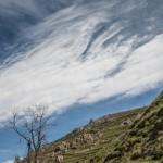 wichura, Pireneje kwiecień