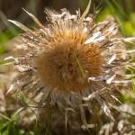 dziewięćsił rozsiewający nasiona po okolicy