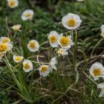 łączka, tych kwiatów jest w górach najwięcej wiosną, Pireneje
