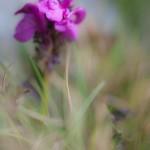 kwiatki na zejściu do Angonella