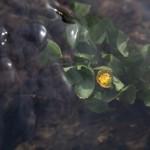 kaczeniec pod wodą