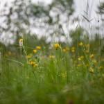kwitnące łąki
