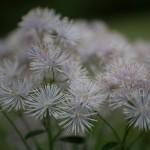 tę roślinę spotykam często w Pirenejach i w Alpach, ale nie zidentyfikowałam jeszcze