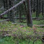 leśne rododendrony